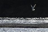 Mouette rieuse (Chroicocephalus ridibundus) en vol, bords de Loire, France