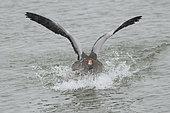 Greylag geese (Anser anser) landing on water, Lac du Der, Champagne, France