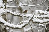 European Robin (Erithacus rubecula) on a snowy branch, Vosges, France