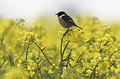 European Stonechat (Saxicola rubicola) in Turnip field, Vosges, France