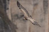 Griffon vulture (Gyps fulvus) in flight, Cévennes National Park, France