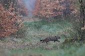 Wild cat (Felis silvestris) walking in the undergrowth, Vosges, France
