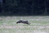 Wild cat (Felis silvestris) running in a meadow, Vosges, France