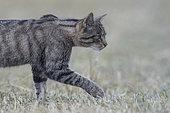Wild cat (Felis silvestris) walking in grass, Vosges, France