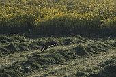 Wild cat (Felis silvestris) hunting in hay, Vosges, France