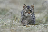 Wild cat (Felis silvestris) wet, walkinf in hay, Vosges, France