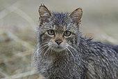 Wild cat (Felis silvestris) wet, Vosges, France