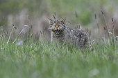 Wild cat (Felis silvestris) aggressive in grass, Vosges, France