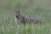 Wild cat (Felis silvestris) in grass, Vosges, France