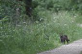 Wild cat (Felis silvestris) at the edge of a path, Vosges, France