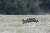 Wild cat (Felis silvestris) with a prey in a meadow, Vosges, France