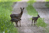 Roebuck (Capreolus capreolus), female with two fawns, Vosges, France