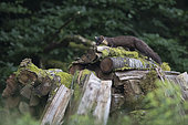 Pine marten (Martes martes) on wood pile, Vosges, France