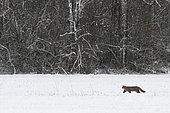 Wild cat (Felis silvestris) walking in a snowy meadow, Vosges, France