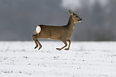 Roebuck (Capreolus capreolus), female jumping in winter, Vosges, France