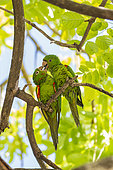 Yellow-chevroned parakeet (Brotogeris chiriri), grooming, downtown Miami, Florida, USA