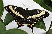 Emperor Swallowtail (Papilio ophidicephalus), Tropical greenhouse of Nancy Botanical Garden, Lorraine, France