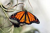 Monarch Butterfly (Danaus plexippus), Tropical greenhouse of Nancy Botanical Garden, Lorraine, France