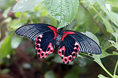 Scarlet Mormon (Papilio rumanzovia), Tropical greenhouse of Nancy Botanical Garden, Lorraine, France