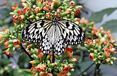 Paper Kite (Idea leuconoe) posed open wings foraging on flowers, Tropical greenhouse of Nancy Botanical Garden, Lorraine, France