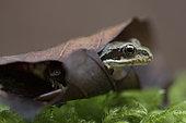 European frog (Rana temporaria) in a dead leaf, Vosges, France