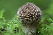 Spiny Puffball (Lycoperdon echinatum), Vosges, France