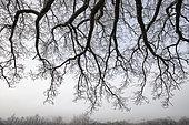 Branches de chêne sous le givre, Vosges, France