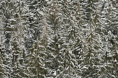 Norway Spruce (Picea abies) forest in winter, Vosges, France