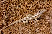 Gilbert's dragon (Amphibolurus gilberti), Coral Bay, WA, Australia