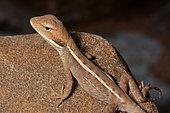 Long-nosed water Dragon (Amphibolurus longirostris), Kalbarri National Park, WA, Australia