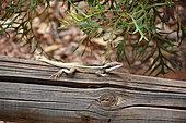 Long-nosed water Dragon (Amphibolurus longirostris), Yulara, Red Center, NT, Australie