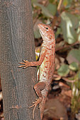 Ring-tailed Dragon (Ctenophorus caudicinctus) fe, Karijini National Park, WA, Australia