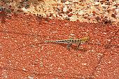 Spotted Military Dragon (Ctenophorus maculatus maculatus), Kalbarri National Park, WA, Australia
