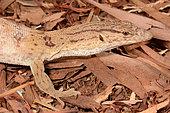 Pygmy mulga monitor (Varanus gilleni), Yulara, Red Center, NT, Australia