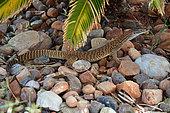 Sand Monitor (Varanus gouldii), Yulara, Red Center, NT, Australie