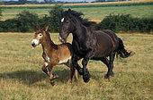 Mulassière du Poitou et mule, jument et son poulain