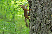 Red squirrel (Sciurus vulgaris) on a Larch, Russia