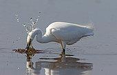 Little egret (Egretta garzetta) fishing, Normandy, France