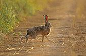 European hare (Lepus europaeus) on freshly mown flax, Normandy, France