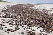 Hannetons communs (Melolontha melolontha) morts, rejetés massivement sur une plage de la mer Baltique, Nida, isthme de Courlande, Lithuanie