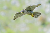 Faucon lanier (Falco biarmicus feldeggi) en vol, Campanie, Italie