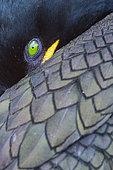 Cormoran huppé (Phalacrocorax aristotelis) gros plan, Northumberland, Angleterre
