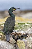 European Shag (Phalacrocorax aristotelis), Northumberland, United Kingdom