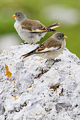 White-winged Snowfinch (Montifringilla nivalis), juveniles standing on a rock