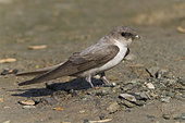 Pale Crag Martin (Ptyonoprogne obsoleta arabica), adult collecting mud for the nest in Oman