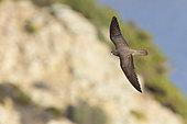 Faucon d'Eléonore (Falco eleonorae) forme sombre en vol, Sardaigne, Italie