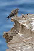 Faucon d'Eléonore (Falco eleonorae) sur rocher, Sardaigne, Italie