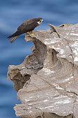 Faucon d'Eléonore (Falco eleonorae) forme claire sur rocher, Sardaigne, Italie
