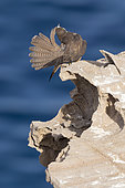 Faucon d'Eléonore (Falco eleonorae) forme claire se lissant les plumes sur rocher, Sardaigne, Italie