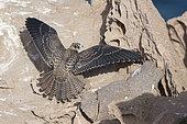 Faucon d'Eléonore (Falco eleonorae) jeune écartant ses ailes sur un rocher, Sardaigne, Italie